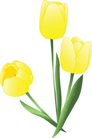 Vector yellow tulips over white