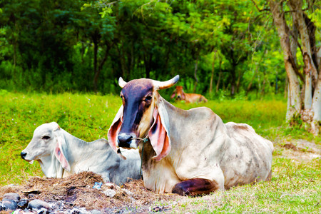The cow dairy farm animal nature in thailand day tree