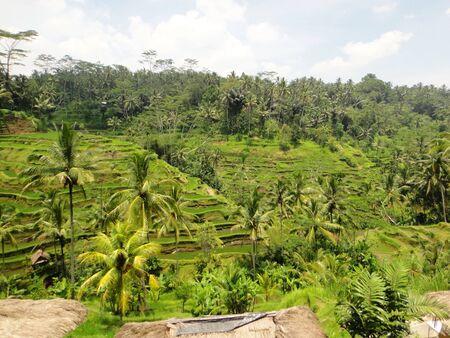 environmen: Rice Paddy At Tegalalang