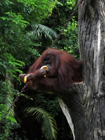 Orang Utan eating a banana