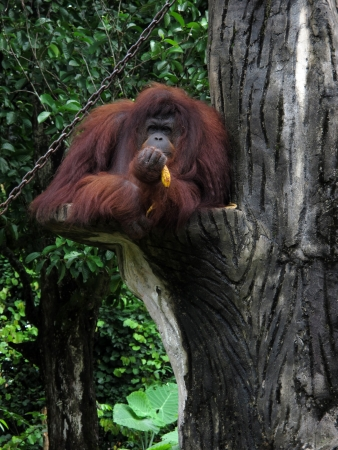 Shy orang utan eating a banana photo