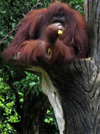 Застенчивый орангутанг Utan ест банан