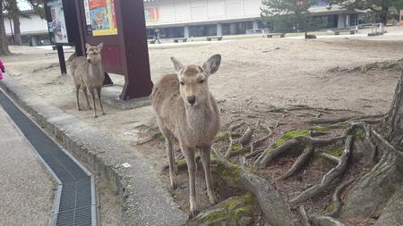 March 12 2015 Deers in Nara Park Japan