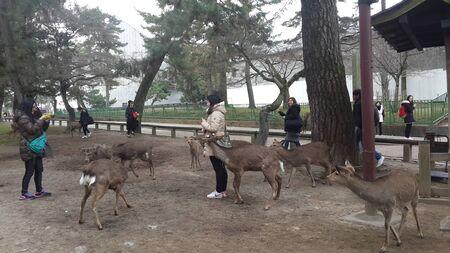 March 12, 2015 -  Visitors feeding wild deers in Nara, Japan Editorial