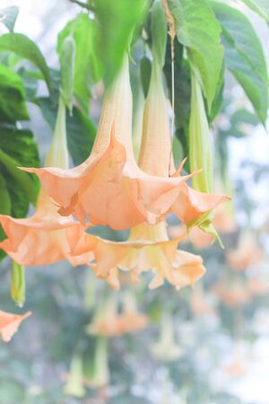 pers: Angel's trumpet(Brugmansia x candida Pers),beautiful flowers of many colors and fragrant flowers Stock Photo
