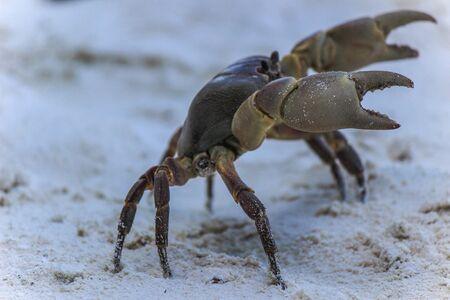 similan islands: chicken crab on the beach of Tachai Island,Similan Islands National Park,Phang Nga Province,southern Thailand.