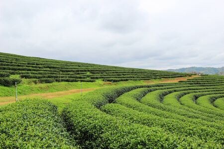 Choui Fong Tea Plantation, Mae Chan District, Chiang Rai ,Northern Thailand