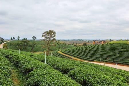 an agricultural district: Choui Fong Tea Plantation, Mae Chan District, Chiang Rai ,Northern Thailand