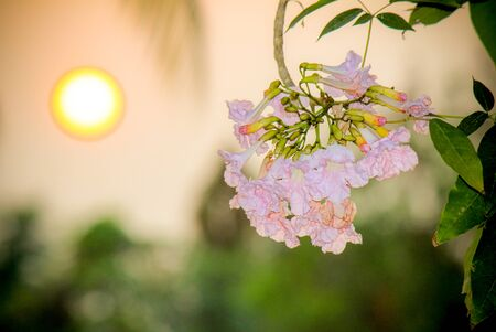rosy: Rosy trumpet flowers and evening sun