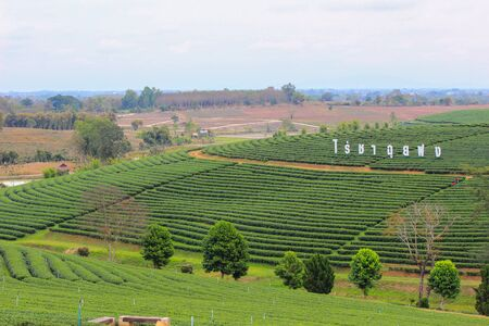 an agricultural district: Choui Fong Tea Plantation in Mae Chan District, Chiang Rai Province,Northern Thailand.Non English texts meanChoui Fong Tea Plantation