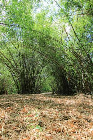 nakhon pathom: Bamboo grove at Phutthamonthon (Buddhist park in Phutthamonthon district, Nakhon Pathom Province of Thailand) Stock Photo