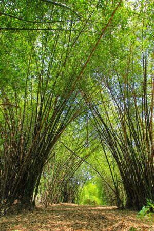 nakhon: Bamboo grove at Phutthamonthon (Buddhist park in Phutthamonthon district, Nakhon Pathom Province of Thailand) Stock Photo