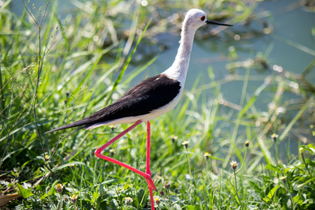 black-winged stilt(Himantopus himantopus)at Laem Phak Bia,Petchaburi,Thailand.It has long pink legs,a long thin black bill and are blackish above and white below, with a white head and neck.