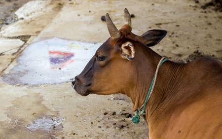 thai flag: Thai cow takes a rest,with reflection shadow of Thai flag