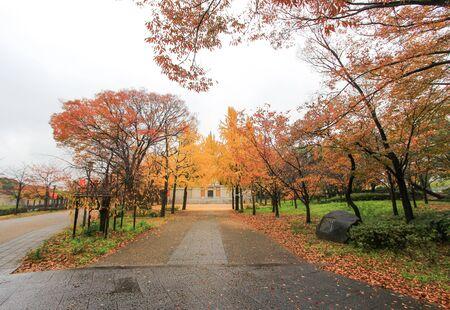 osaka castle: Ginkgo trees at Osaka Castle Park,Japan Stock Photo