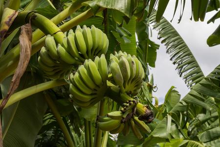 nakhon pathom: Banana tree and fruit in Nakhon Pathom Province of Thailand Stock Photo