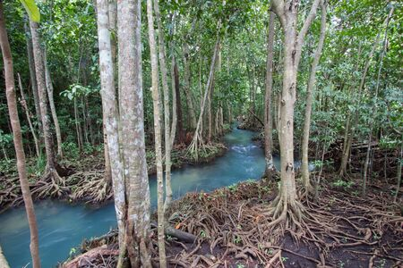 pom: Emerald-green water and tree roots of peat swamp forest of the canal of Tha Pom in Krabi province,Southern Thailand