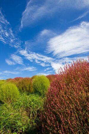shurb: Red and green Kochia bushes with beautiful sky in Ibaraki,Japan