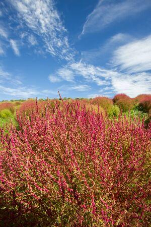 shurb: Red,green,Kochia,scoparia,Ibaraki,Japan,shurb,bush,plants,nature,blue sky,white clouds