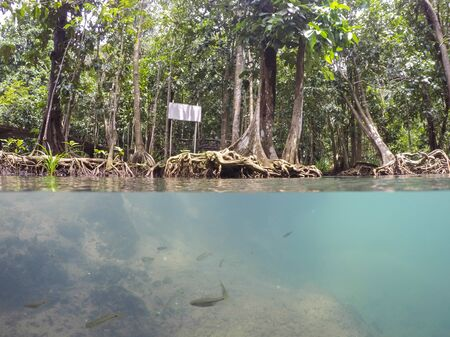 peat: Emerald-green water and tree roots of peat swamp forest of the canal of Tha Pom in Krabi province,Southern Thailand