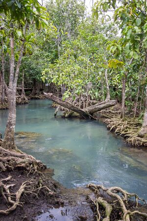 turba: Emerald-green water and tree roots of peat swamp forest of the canal of Tha Pom in Krabi province,Southern Thailand