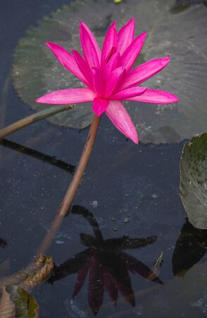 blooming pink Nymphaea lotus with reflection shadow  in the pond