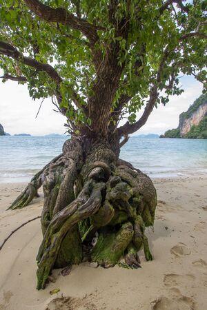A tree with peculiar shape on the beach of Phak Bia Island,Ao Luek District, Krabi,Thailand
