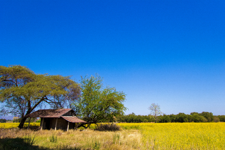 Little hut in the yellow fields of Crotalaria juncea(sunn hemp) in Phetchabun Province,northern Thailand. Stock Photo