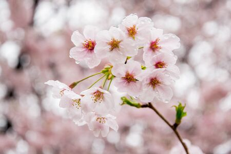 Rain drops on fully-bloomed cherry blossom petals at Gongendo Park in Satte,Saitama,Japan