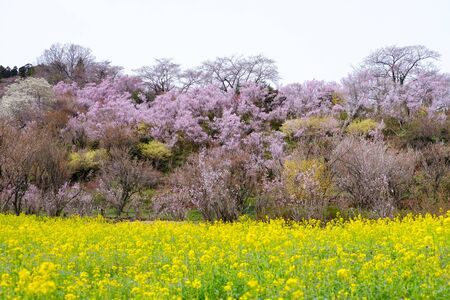 Yellow nanohana fields and flowering trees covering the hillside,Hanamiyama Park,Fukushima,Tohoku,Japan.