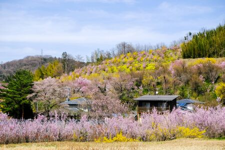 Multicolor flowering trees covering the hillside,Hanamiyama Park,Fukushima,Tohoku,Japan. Stock Photo