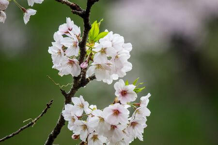 Cherry Blossoms at Chidorigafuchi moat,Chiyoda,Tokyo,Japan in spring. Stock Photo
