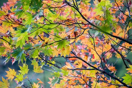 momiji: Autumn leaves with blazing colors illuminated with sunshine