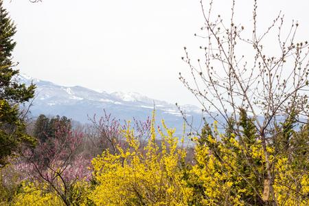 Bright yellow flowers of Forsythia with colorful hill at Hanamiyama Park,Fukushima,Tohoku,Japan.