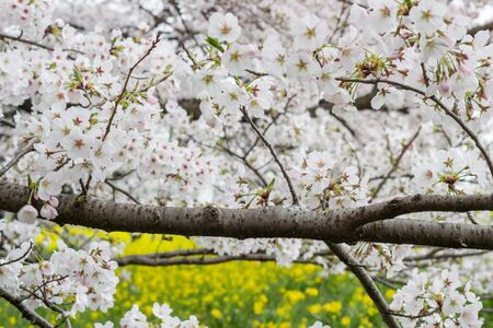 canola: Cherry blossom tunnel and fields of yellow flowering nanohana at Kumagaya Arakawa Ryokuchi Park in Kumagaya,Saitama,Japan.Also known as Kumagaya Sakura Tsutsumi
