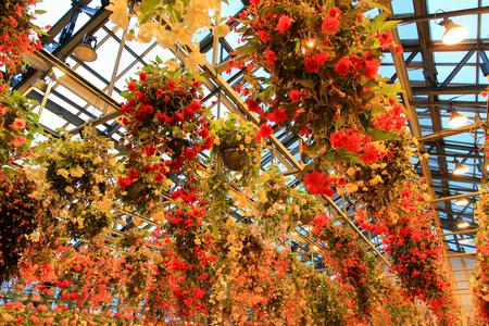 Multicolor Begonia in Begonia garden in Mie,Japan