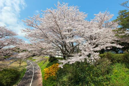 showa: Cycling paths(bike lanes) and cherry trees at Showa Kinen Koen(Showa Memorial Park),Tachikawa,Tokyo,Japan in spring.