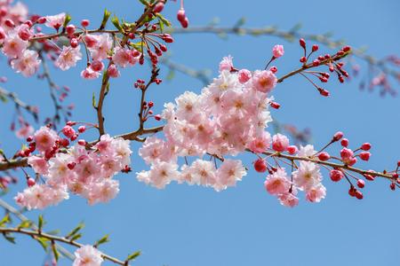 Weeping cherry blossoms at Showa Kinen Koen(Showa Memorial Park),Tachikawa,Tokyo,Japan in spring.
