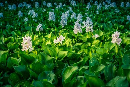 Water Hyacinth flowers and leaves in the pond.