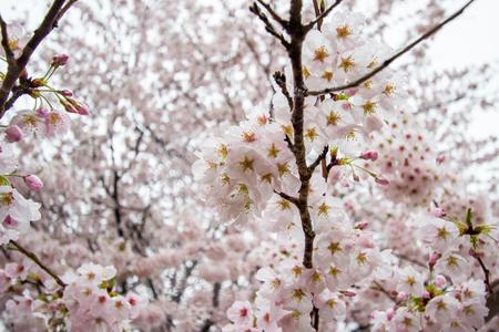 Fully-bloomed cherry blossoms at Gongendo Park in Satte,Saitama,Japan