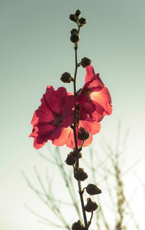Red hollyhocks with morning sunlights.