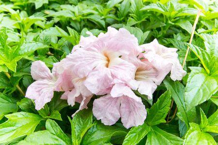 fallen rosy trumpet flowers