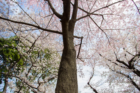kita: Fully-bloomed cherry blossoms with blue sky background at Asukayama Park in Kita,Tokyo,Japan.