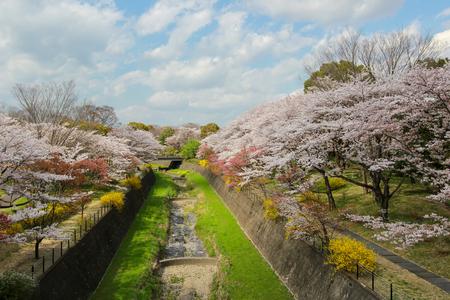 showa: Cherry trees along the dry canal at Showa Kinen Koen(Showa Memorial Park),Tachikawa,Tokyo,Japan in spring.