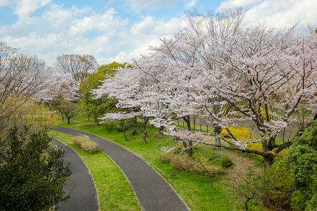 Cycling paths(bike lanes) and cherry trees at Showa Kinen Koen(Showa Memorial Park),Tachikawa,Tokyo,Japan in spring.