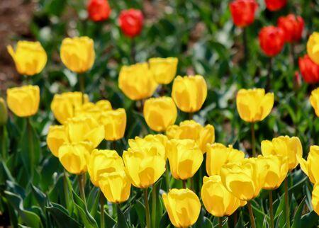노란색 Candela Fosteriana 튤립 및 빨간 튤립 뒤에, 쇼와 기념 공원, 타치 카와, 도쿄, 일본 봄.