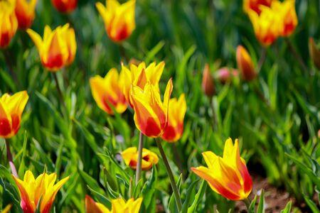 showa: Synaeda King Tulips in stunning red petals with yellow flames  at Showa Kinen Koen(Showa Memorial Park),Tachikawa,Tokyo,Japan in spring.