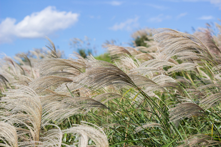 Susuki(Japanese Pampas Grass,Miscanthus sinensis) blowing in the breeze
