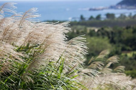 the pampas: Susuki(Japanese Pampas Grass,Miscanthus sinensis) blowing in the breeze