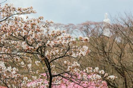 東北地方宮城県柴田船岡城遺跡公園の山頂に船岡平和観音と桜の木。
